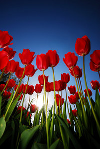 Ant's view of tulips.