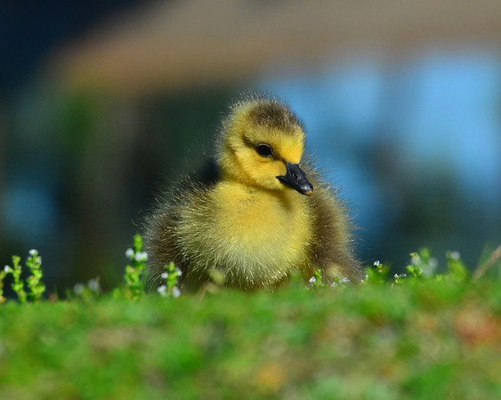Spring Gosling Calif Park