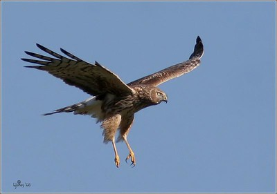 The gray ghost. Male Northern Harrier.