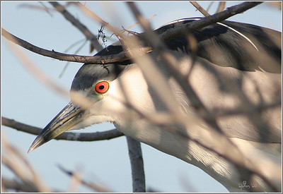 Black crowned night heron was hiding in a tree. Bolsa Chica