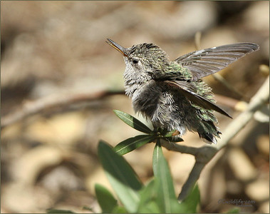 Tiny little tyke. Just fledged. Could barely fly!