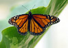 female Monarch Butterfly