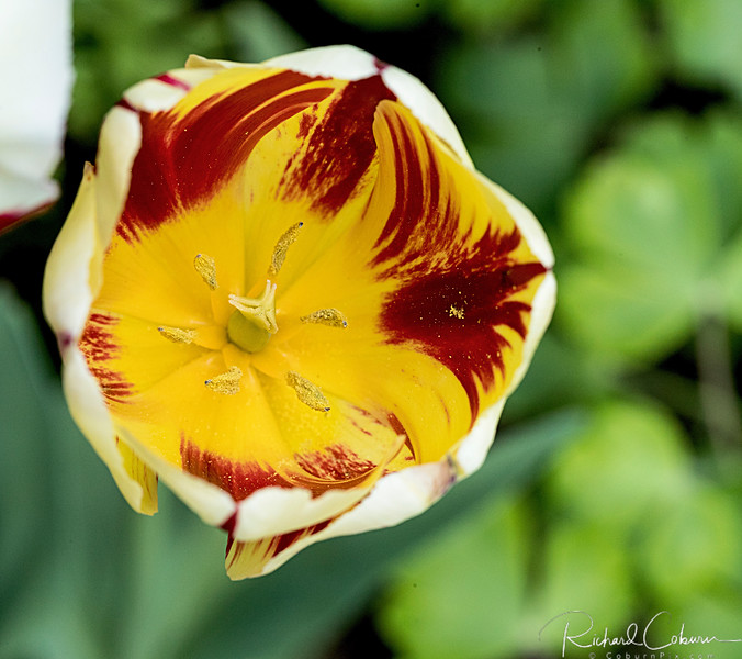 Canada 150 Tulip 2
