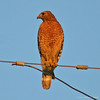 Red Shouldered Hawk #2