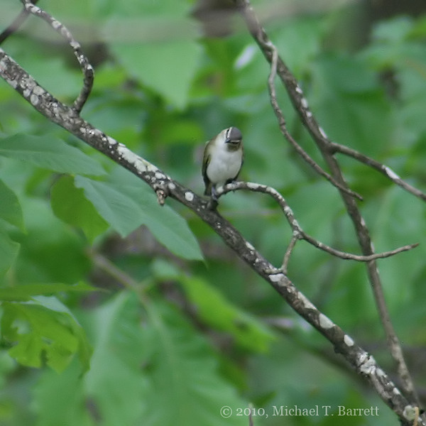 Red Eyed Vireo #2