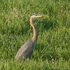 Great Blue Heron On Taff Road