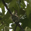 Hummingbird In The Nest #3