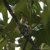 Hummingbird In The Nest #3