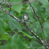 Red Eyed Vireo #1