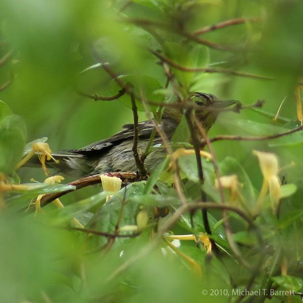 Unknown Warbler #1