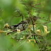 Unknown Warbler #1