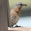 Bluebird #2