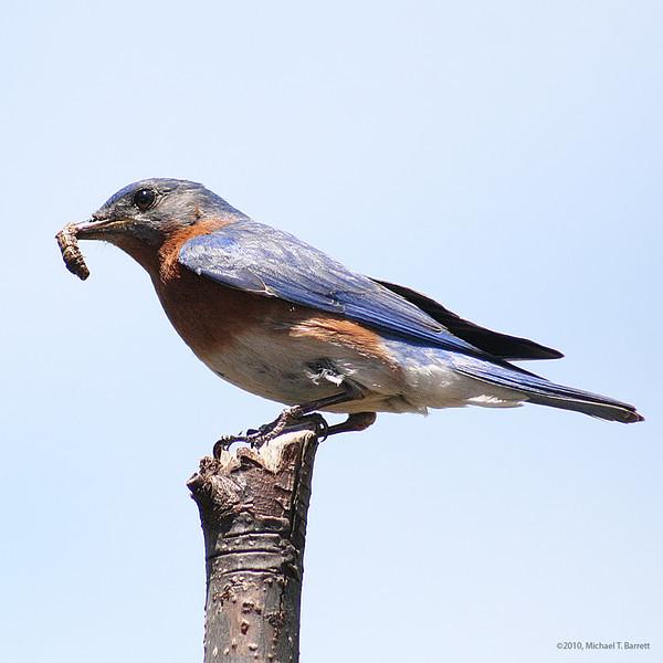 Bluebird #4