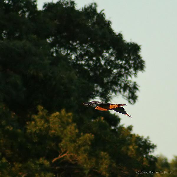Red Shouldered Hawk #3