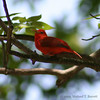 Summer Tanager #2