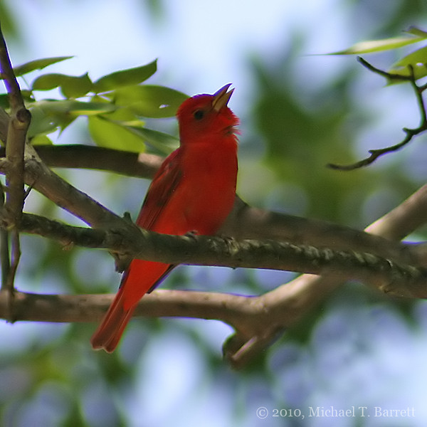 Summer Tanager #3