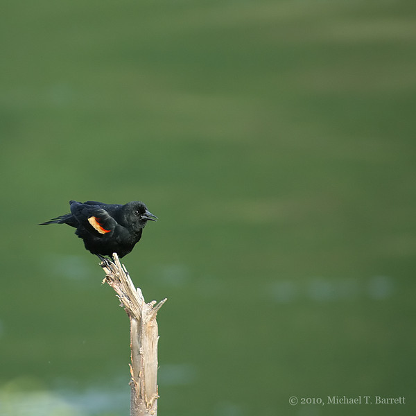Red Winged Blackbird #1