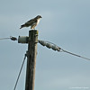 Red-Tailed Hawk #1