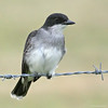 Eastern Kingbird #1