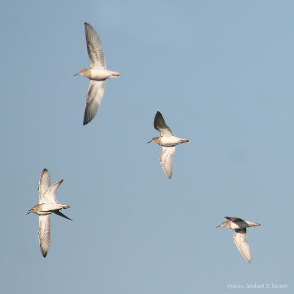 Sandpipers In Flight