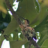 Hummingbird In The Nest #1