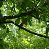 Scarlet Tanager #1