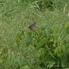 Willow Flycatcher 2