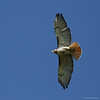 Red-Tailed Hawk #5