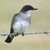 Eastern Kingbird #2