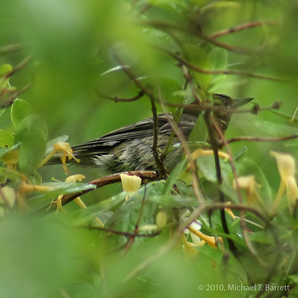 Unknown Warbler #2