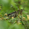 Unknown Warbler #2