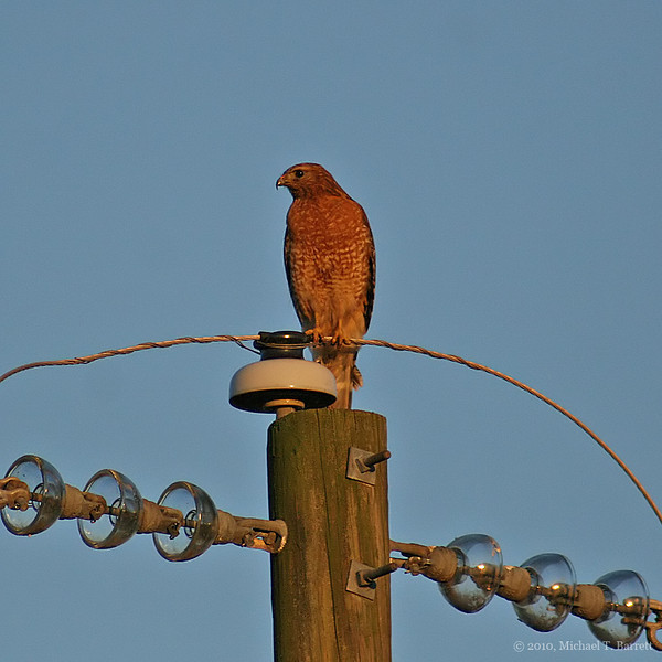 Red Shouldered Hawk #1
