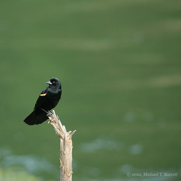 Red Winged Blackbird #2