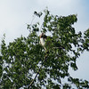 Red-Tailed Hawk #3