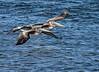 Brown pelicans near Ochlockonee River State Park.