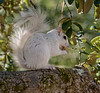 White squirrel in Ochlockonee River State Park.