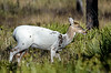 Piebald deer in Ochlockonee River State Park, Big Bend area of Florida.