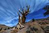 Bristlecone Pines 2016