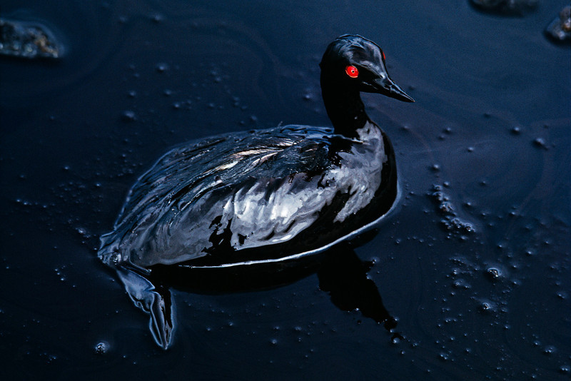 """<p><font size=""""3""""><font face=""""arial"""">Gulf coast sea bird courtesy of BP, 2010.<p> Photographed by S McCurry"""