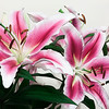 """Pink Lilies converted in Photoshop.  Follow me on: <a href=""""https://www.facebook.com/PhilipCormackPhotography"""" rel=""""nofollow"""">Facebook</a>   <a href=""""https://twitter.com/Philip_Cormack"""" rel=""""nofollow"""">Twitter</a>   <a href=""""http://www.flickr.com/people/philip_cormack_photography/"""">Flickr</a>   <a href=""""https://pinterest.com/philipcormack/"""" rel=""""nofollow"""">Pinterest</a>   <a href=""""http://www.modelmayhem.com/PhilipCormackPhotography"""" rel=""""nofollow"""">Model Mayhem</a>"""