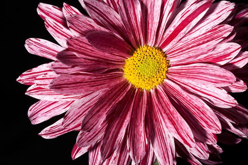 "Pink / Purple Chrysanthemum  Follow me on: <a href=""https://www.facebook.com/PhilipCormackPhotography"" rel=""nofollow"">Facebook</a> 
