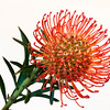 "Orange Leucospermum  Follow me on: <a href=""https://www.facebook.com/PhilipCormackPhotography"" rel=""nofollow"">Facebook</a> 