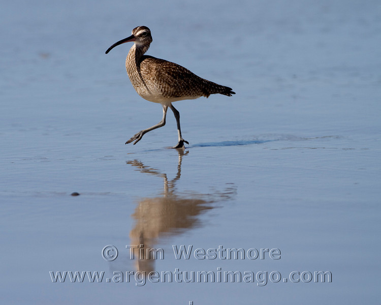 Walking Marbled Godwit
