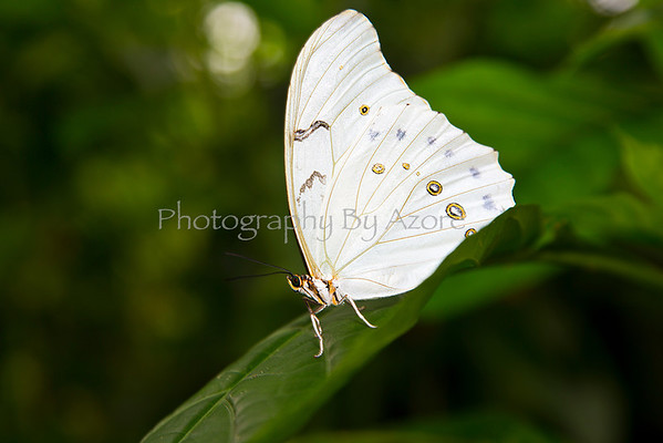 ~Butterflies~ White_Morpho_Butterfly