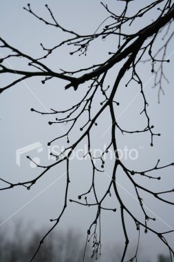 """<a href=""""http://www.istockphoto.com/file_closeup/object/3315110.php?id=3315110&refnum=jwilkinson"""" target=""""istock"""">Branches in the Rain 2</a><br>tree branches silhouetted against a gray, rainy sky, with droplets of water on the dark branches.  <br><br>Brightened from original using levels. Further level editing can be done by the user as needed.<br><br>See also: <br><a href=http://www.istockphoto.com/file_closeup.php?id=3315134><img border=0 src='http://www.istockphoto.com/file_thumbview_approve.php?size=1&id=3315134'></a> <br>"""