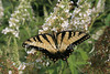"<a href=""http://www.istockphoto.com/file_closeup/object/2263763.php?id=2263763&refnum=jwilkinson"" target=""istock"">butterfly - yellow swallowtail on butterfly-bush</a><br>a yellow swallowtail butterfly feeding on a butterfly bush(Buddleia)<br><br>See also: <br><a href=http://www.istockphoto.com/file_closeup.php?id=2196105><img border=0 src='http://www.istockphoto.com/file_thumbview_approve.php?size=1&id=2196105'></a> <a href=http://www.istockphoto.com/file_closeup.php?id=2196280><img border=0 src='http://www.istockphoto.com/file_thumbview_approve.php?size=1&id=2196280'></a>  <a href=http://www.istockphoto.com/file_closeup.php?id=2263790><img border=0 src='http://www.istockphoto.com/file_thumbview_approve.php?size=1&id=2263790'></a> <a href=http://www.istockphoto.com/file_closeup.php?id=2196017><img border=0 src='http://www.istockphoto.com/file_thumbview_approve.php?size=1&id=2196017'></a> <br>"
