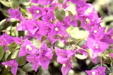 """<a href=""""http://www.istockphoto.com/file_closeup/object/29743.php?id=29743&refnum=jwilkinson"""" target=""""istock"""">flower, jamaican 4</a><br>unknown variety flower, taken in jamaica. (see other similar photos in my submissions)<br><br>Please drop me a note if/where you use this photo.<br><br>See also: <br><a href=http://www.istockphoto.com/file_closeup.php?id=29740><img border=0 src='http://www.istockphoto.com/file_thumbview_approve.php?size=1&id=29740'></a> <a href=http://www.istockphoto.com/file_closeup.php?id=29741><img border=0 src='http://www.istockphoto.com/file_thumbview_approve.php?size=1&id=29741'></a> <a href=http://www.istockphoto.com/file_closeup.php?id=29742><img border=0 src='http://www.istockphoto.com/file_thumbview_approve.php?size=1&id=29742'></a><br>"""