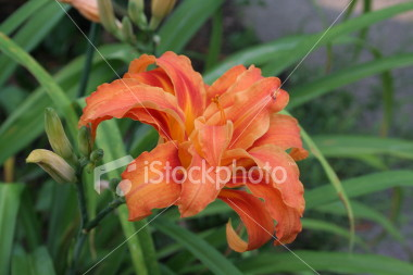 "<a href=""http://www.istockphoto.com/file_closeup/object/1844646.php?id=1844646&refnum=jwilkinson"" target=""istock"">Day-Lily, Orange Double</a><br>A beautiful orange double or triple day lily.<br><br>Variety is Hemerocallis fulva 'Kwanso' or Hemerocallis 'Kwanso'.<br>Hemerocallis fulva seems to be the general name for orange day lilies and 'Kwanso' is the double and/or triple variety.<br><br>See also: <br><a href=http://www.istockphoto.com/file_closeup.php?id=1930481><img border=0 src='http://www.istockphoto.com/file_thumbview_approve.php?size=1&id=1930481'></a>  <a href=http://www.istockphoto.com/file_closeup.php?id=1844593><img border=0 src='http://www.istockphoto.com/file_thumbview_approve.php?size=1&id=1844593'></a> <a href=http://www.istockphoto.com/file_closeup.php?id=31814><img border=0 src='http://www.istockphoto.com/file_thumbview_approve.php?size=1&id=31814'></a><br>"