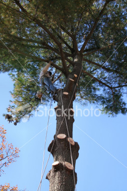 """<a href=""""http://www.istockphoto.com/file_closeup/object/2387019.php?id=2387019&refnum=jwilkinson"""" target=""""istock"""">Tree trimmer working up high</a><br>a tree trimmer/removal person high up in a pine tree, removing the last branches from a tree being removed.<br><br>includes his rigging and safety lines, chain saw hanging from his belt<br><br>See also: <br><a href=http://www.istockphoto.com/file_closeup.php?id=2340771><img border=0 src='http://www.istockphoto.com/file_thumbview_approve.php?size=1&id=2340771'></a> <a href=http://www.istockphoto.com/file_closeup.php?id=2340708><img border=0 src='http://www.istockphoto.com/file_thumbview_approve.php?size=1&id=2340708'></a>  <a href=http://www.istockphoto.com/file_closeup.php?id=2387093><img border=0 src='http://www.istockphoto.com/file_thumbview_approve.php?size=1&id=2387093'></a> <br><a href=http://www.istockphoto.com/file_closeup.php?id=2629393><img border=0 src='http://www.istockphoto.com/file_thumbview_approve.php?size=1&id=2629393'></a>  <a href=http://www.istockphoto.com/file_closeup.php?id=2648318><img border=0 src='http://www.istockphoto.com/file_thumbview_approve.php?size=1&id=2648318'></a> <br>"""