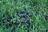 <a href=http://www.istockphoto.com/file_closeup/object/4617780.php?id=4617780&refnum=jwilkinson target=istock>Deer Droppings in mowed suburban yard</a><br>deer droppings in cut grass of a mowed yard, good for concepts like urban encroachment onto wildlife habitat, deer and other animals in urban & suburban environments, etc<br><br>(yes, a bit gross, sorry)<br><br>See also:<br><a href=http://www.istockphoto.com/file_closeup.php?refnum=jwilkinson&id=4617916><img border=0 src=http://www.istockphoto.com/file_thumbview_approve.php?refnum=jwilkinson&size=1&id=4617916></a>  <a href=http://www.istockphoto.com/file_closeup.php?refnum=jwilkinson&id=4618022><img border=0 src=http://www.istockphoto.com/file_thumbview_approve.php?refnum=jwilkinson&size=1&id=4618022></a> <br>